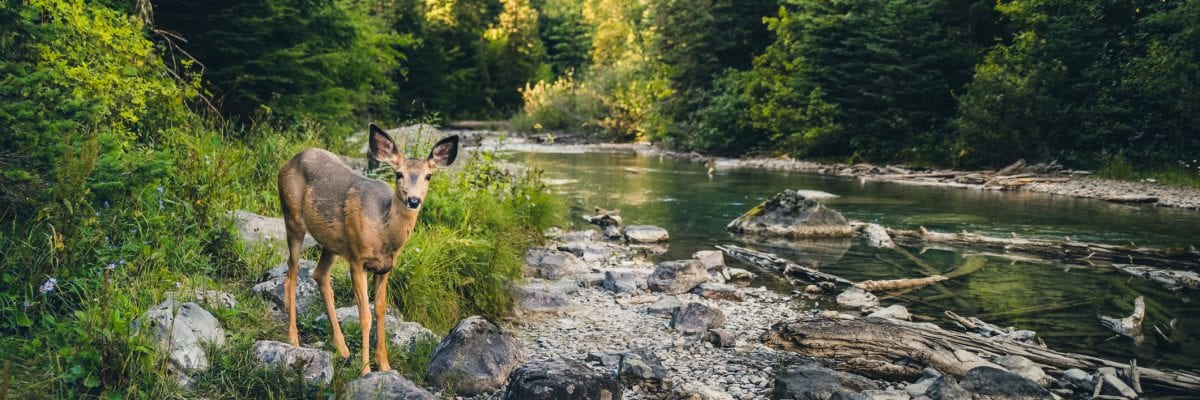 photo of a lone deer next to stream in forest