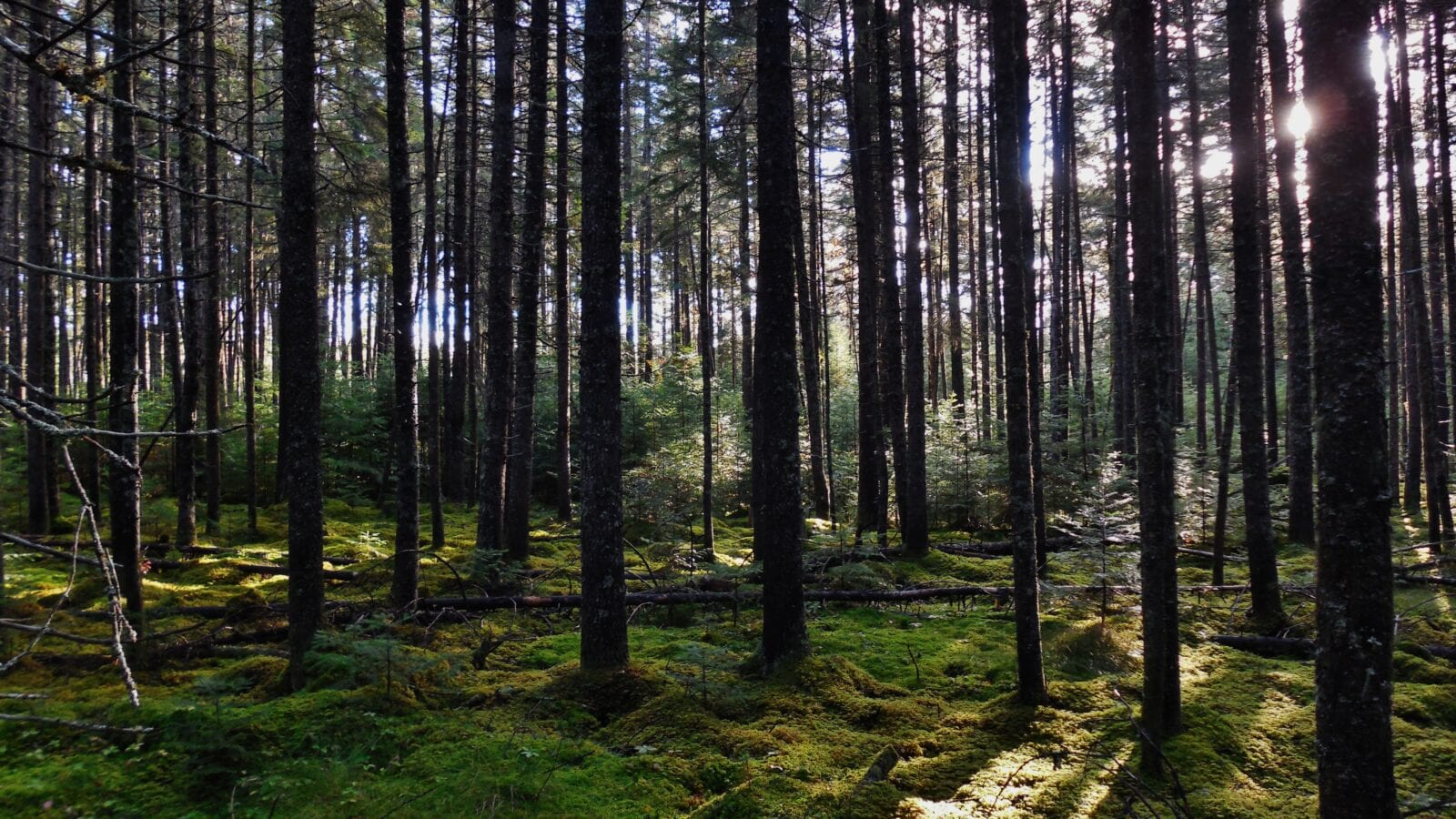 photo of a stand of trees in a forest