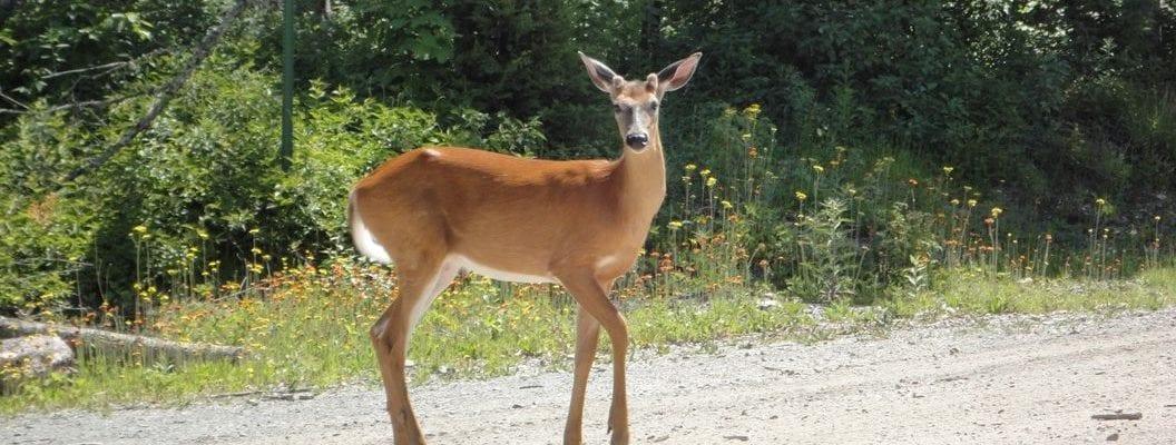 photo of doe deer on gravel road