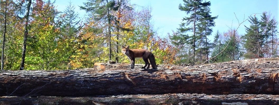 photo of fox standing on fallen logs in forest