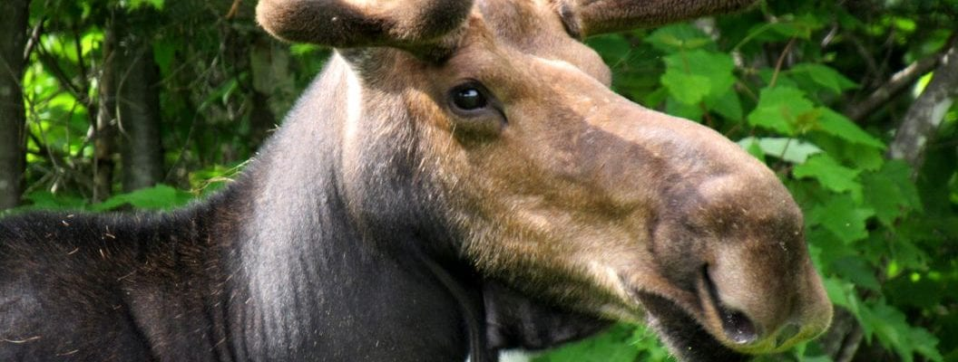 photo of moose in the woods